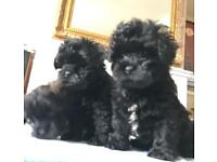 Exquisite Adorable TOY LHASA - POO PUPPIES -