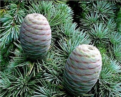Atlas Cedar Pure Essential Oil - 2.5oz/75 ml + Free Carrier oil 10 ML