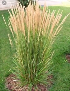 Ornamental Grasses Ontario Ornamental grass kijiji in ontario buy sell save with wanted ornamental grass workwithnaturefo