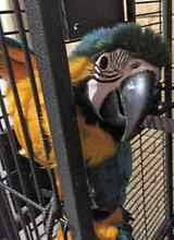 Blue and gold macaw once weaned Bullsbrook Swan Area Preview