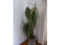 Indoor Plant -Dracaen Marginata- Dragon Tree 150 - 155cm inc. pot