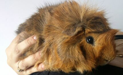 Free Gorgeous male fluffy Guinea Pig Bald Hills Brisbane North East Preview