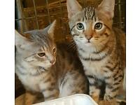 Lovely bengal kittens