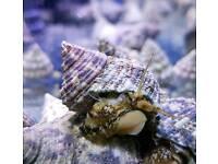 turban snail marine aquarium cuc
