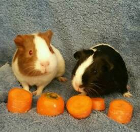 2 x baby girl guinea pigs