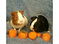 2 x baby girl guinea pigs