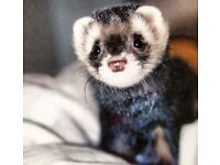 NICE, RESPONSIBLE GIRL IS LOOKING FOR A PET FRIENDLY HOUSE FOR HERSELF AND CUTE FERRET - OLIVER!