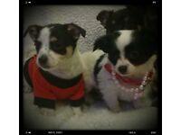 Beautiful Chihuahua puppy's
