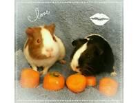 2 x baby guinea pigs