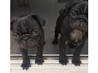 Pug puppies boys ready now
