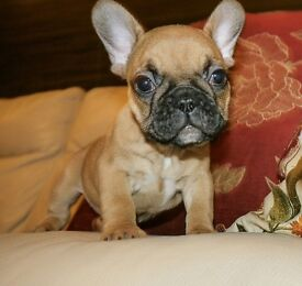 Reduced!!!Superb French Bulldog Puppies for Sale!!!