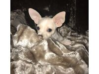 5 month old Boy Chihuahua