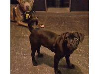 Black pug x jack russel