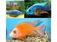 fish Various African Cichlids malawi 1-2 inch