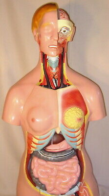 26 Parts Human Upper Body Torso Medical Anatomical Anatomy Model Life Size New