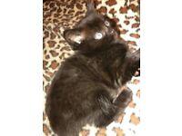 Dark brown kittens