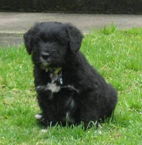Schnoodle x Border Collie Puppies Albany Albany Area Preview