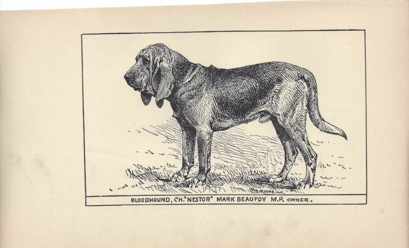 "1900 UK Original Dog Art Pen Ink Print RH Moore Champion BLOODHOUND ""Nestor"""