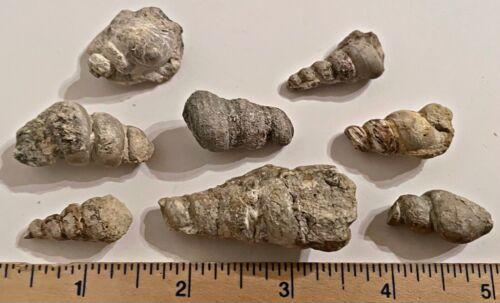 Texas Fossil Gastropods Turritella sp. Cretaceous Dinosaur Age 2 PER PURCHASE