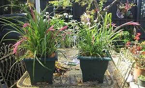 GREEN PLASTIC POT PLANTS BROMELIADS BILLBERGIA $12.00 EACH Northcote Darebin Area Preview