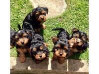 Miniature Pedigree Yorkshire terrier pups.
