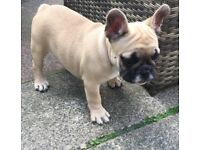 QUALITY CHUNKY KC REG FRENCH BULLDOG PUPPIES