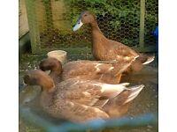 3 khaki Campbell ducks