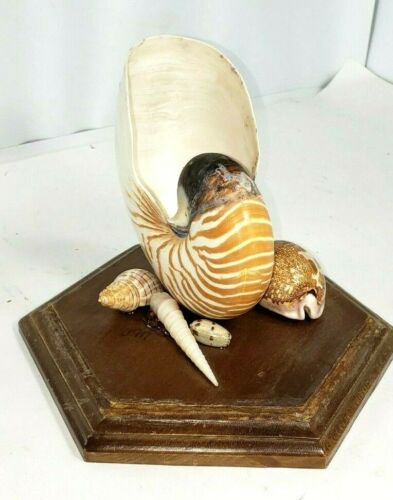 """Chambered Tiger Nautilus Shell 7""""x5""""x3"""" on Wood Base, Map Cowrie +more"""