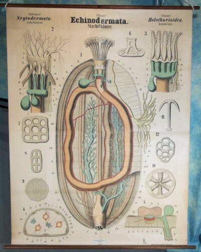 Leuckart Antique 1900s Zoology Classroom Wall Chart, Echinodermata