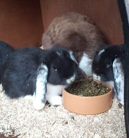 Giant french lop bunnies