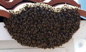 Bee Swarm Collection -- FREE and PROFESSIONAL Margaret River Margaret River Area Preview