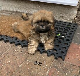 Beautiful Shih Tzu Puppies - 1 boy and 1 girl available