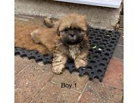 Ready now - Beautiful Shih Tzu Puppies