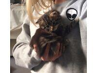 Pretty, fluffy tabby kitten