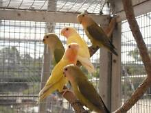 5 BABY LOVEBIRDS FOR SALE ****CALL O**** Baldivis Rockingham Area Preview