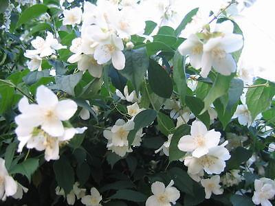 20 MOCK ORANGE Sweet English Dogwood Philadelphus Coronarius Shrub Flower Seeds](Dogwood Bloom)