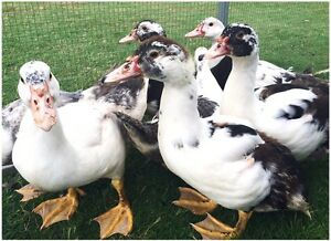 Muscovy Ducklings Need Homes! EATONS HILL VET Eatons Hill Pine Rivers Area Preview