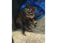 Playful litter blue eyes mixed kitten