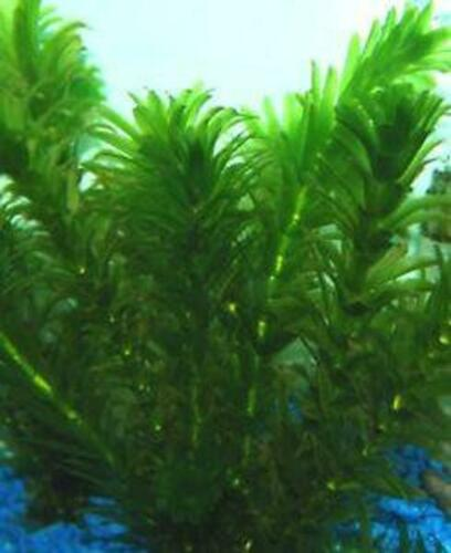 *BUY 2 GET 1 FREE* Anacharis Elodea Egeria Densa Easy Live Aquarium Plants ✅