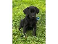 Stunning KC Reg Black Labrador Pup