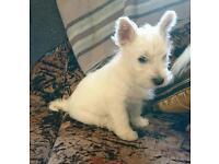West Highland White Puppy