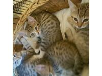 Lovely bengal x kittens