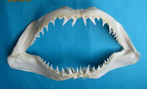 """24 3/4"""" White Mako shark Jaw teeth taxidermy for Scientic Study SD-470"""