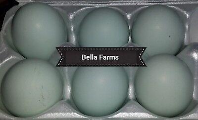 Guaranteed Hatch Rate Real Blue Ameracauna Black Ameracauna Hatching Eggs 6
