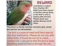 R E W A R D L o s t / s t o l e n lovebird on medication from SE7 Charlton