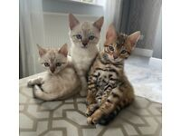 2x Snow and 1x Brown Bengal KITTENS FOR SALE