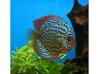 Stendker Discus for Aquarium / Fish Tank