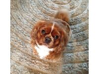 Cavalier King Charles Dogs Puppies For Sale Gumtree