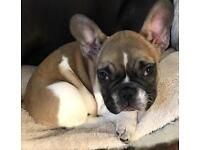 IKC Registered Brown & White Pied French Bulldog Puppy