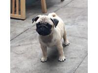 Pug puppy needs a home KC